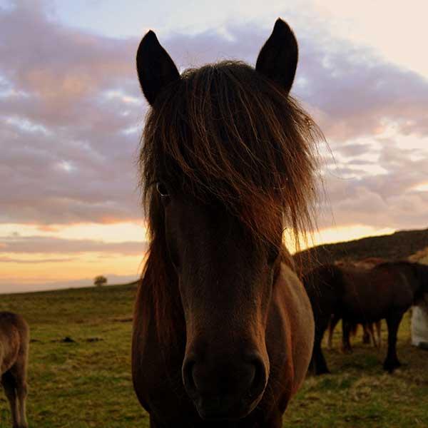 Paardenwimpers IJsland